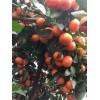 新鲜水果沙糖桔大量供应产地直销批发广西水果批发