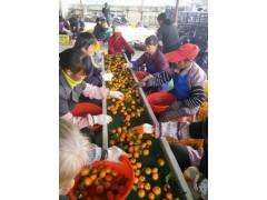 廣西新鮮砂糖橘產地直銷大量批發應季水果供應