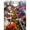 广西新鲜砂糖橘产地直销大量批发应季水果供应