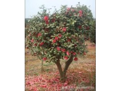 重庆茶花球,红枫树,腊梅花北碚静观大量出售