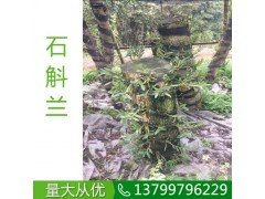 贵州贵阳石斛兰培育基地,贵州贵阳哪里的石斛兰便宜