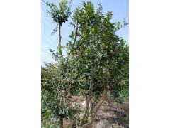 具有价值的树葡萄 畅销的树葡萄出售