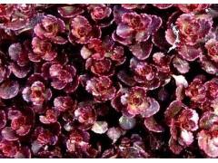 红叶景天哪里有供应-红叶景天种植