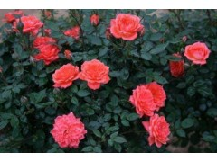 月季种植|优惠的月季哪里有供应