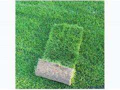 贵州果岭草草坪批发|供应河南有品质的果岭草草坪