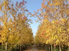 供应山东有品质的美国红枫 13公分美国红枫