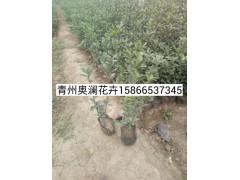 優質瓜子黃楊首推奧瀾花卉苗木|瓜子黃楊市場價格