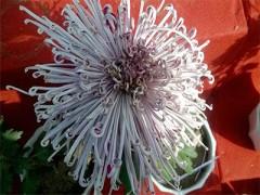 有口碑的菊花哪里有提供-江苏品种菊花供应