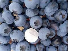 品质好的新鲜蓝莓哪里有卖 长春新鲜蓝莓
