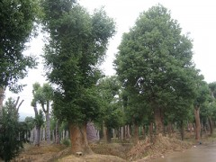 黄山栾树采购|供应福建有品质的樟树