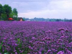 供应潍坊优质的马鞭草——花海专用马鞭草
