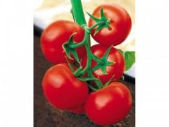 西紅柿種子時時更新批發價格|西紅柿種子供應商