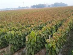 美国5号葡萄苗——品种好的春光葡萄苗推荐