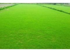 银川草坪厂家——宁夏哪里有出售银川草坪