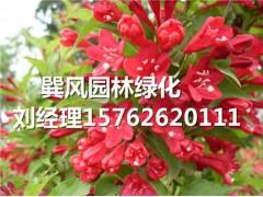 供应潍坊优质的红王子锦带,红王子锦带种植