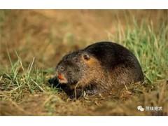 抢手的海狸鼠-为您推荐销量好的温医海狸鼠