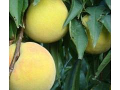 南陽世紀黃桃 濰坊哪里有口碑好的世紀黃桃供應