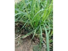 大量供应销量好的苔草,小苔草基地