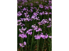 紫娇花批发价格——优质紫娇花批发价格