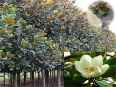 供应江苏无病虫害的绿化乔木——红枫供应厂家