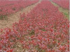 红叶小檗种植基地-质量好的红叶小檗琪皓花卉苗木供应