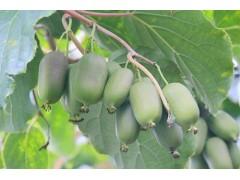 软枣猕猴桃苗木