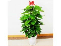 办公室绿植有哪些 办公室植物有哪些