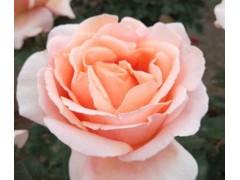浪漫的萊州品種月季情園