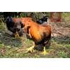 广东东莞深圳附近那里有正宗散养的走地鸡土鸡月子鸡买多少钱一只